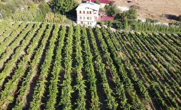 """Safranbolu'da """"çavuş üzümü"""" hasadına başlandı"""