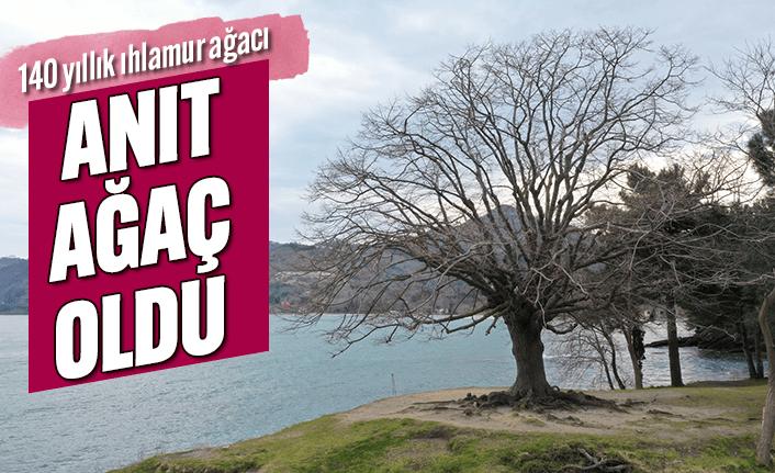 140 yıllık ıhlamur ağacı 'anıt ağaç' oldu