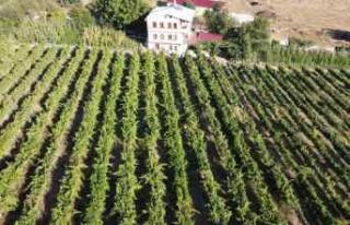 """Safranbolu'da """"çavuş üzümü"""" hasadına..."""