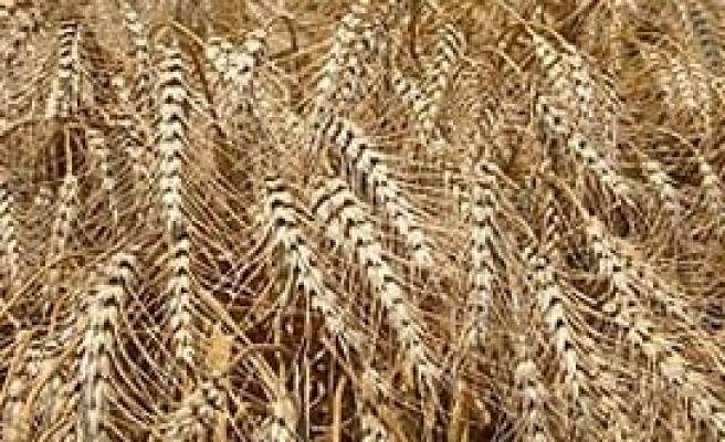 Yeni makarnalık buğday çeşidi tescillendi