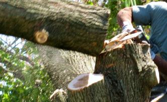 Kocasının kestiği ağacın altında kaldı!